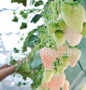 四季结果草莓种子 白草莓种子 菠萝莓 家庭盆栽 美容阳台水果籽