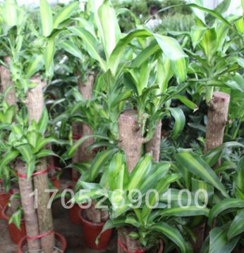 出售巴西木苗 巴西木盆栽 巴西木室内盆景 大型室内绿植防辐射