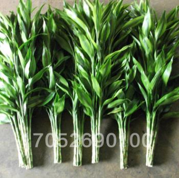 批发水培植物 大叶富贵竹 转运竹 开运竹 家庭水培绿植 植物