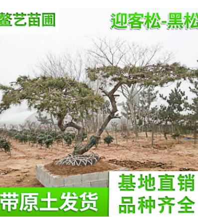 山东青岛北京松树 园林景观绿化迎客松 造型景松景松