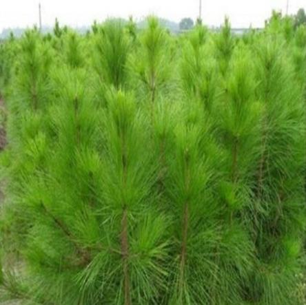 基地直销马尾松苗木 优质的品质 量大优惠 成活率高