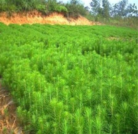 批发马种尾松子松树种子 优质的马尾松小苗 当年新采 基地发货