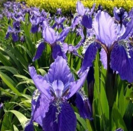 苗圃直销绿化水培植物 水生鸢尾 蓝花鸢尾 黄花鸢尾 庭院公园花海