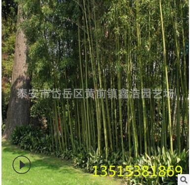 优质刚竹 高7-8米 绿化观赏竹 四季常绿 小区绿化刚竹