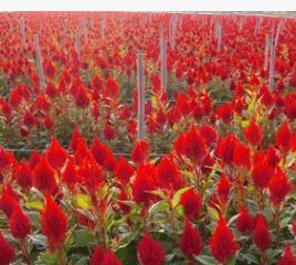 供应鸡冠花盆栽 室内花卉 各种绿化植物 花色纯正 质量保证