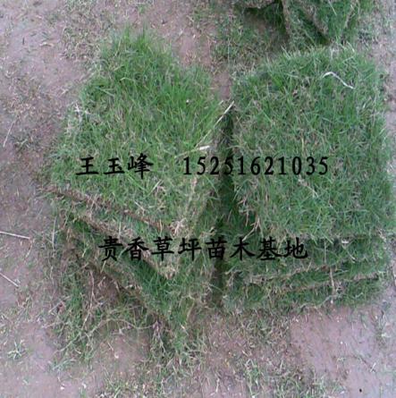 足球草皮 混播草 天然草皮足球场 细叶结缕草 百慕大草坪