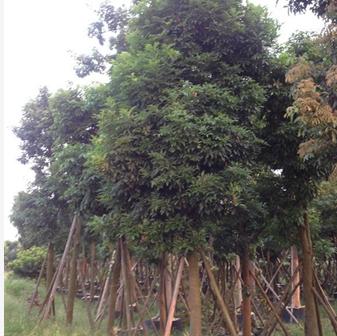 海南红豆15-40cm