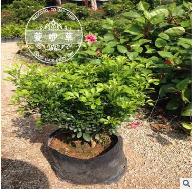 米兰花苗室内香味植物盆栽 长期开花 米兰苗盆栽