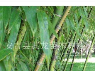 浙江湖州斑竹