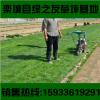 唐山冷季型草皮小区护坡绿化带真活早熟禾马尼拉百慕大四季青草坪