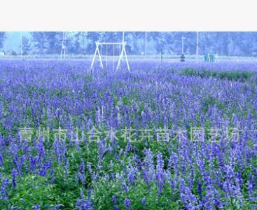 兰花 蓝花鼠尾草营养杯苗 种子等野花组合