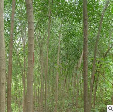 供应丝绵木树苗 基地直销绿化工程苗木 规格齐全