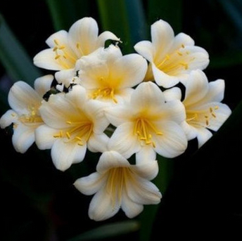 白梅花君子兰苗室内绿植花卉观赏植物吸甲醇兰花盆栽君子兰花苗