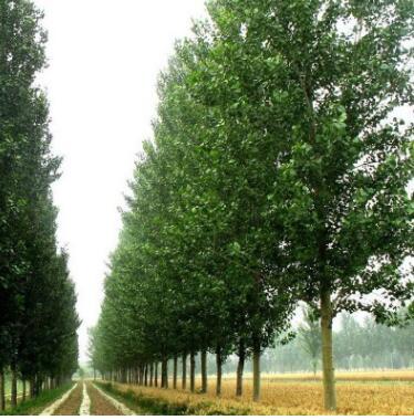泰安红叶杨树苗 绿化苗木 彩叶苗木 三季四变