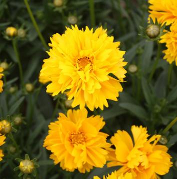 批发绿化工程鲜花种 花海景观金鸡菊花卉种子优质四季庭院用花种