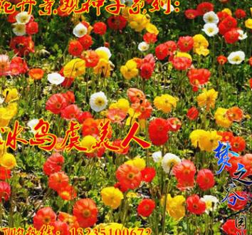 批发虞美人种子春夏秋播易种庭院花园阳台盆栽植物花种子