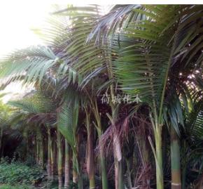 广西贵港槟榔树
