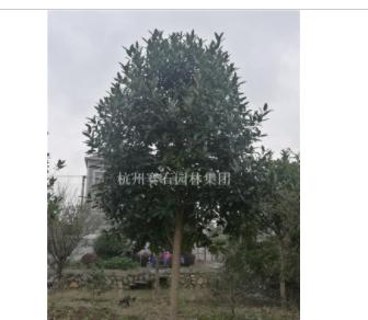 浙江杭州苦丁茶地径9-18cm。
