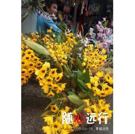 石斛花种苗 兰花苗 超值特惠 花卉包邮花期3-5月