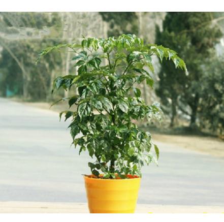 批发室内盆栽绿植花卉【幸福树】【平安树】桌面植物