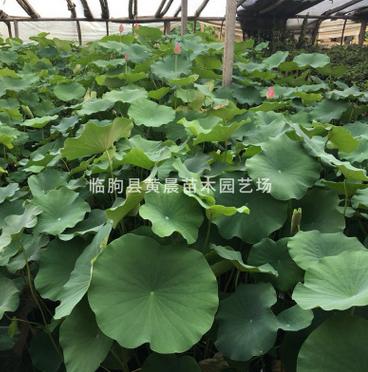 厂家批发销售成品盆栽荷花 水生植物 价格从优大量批发园林植物