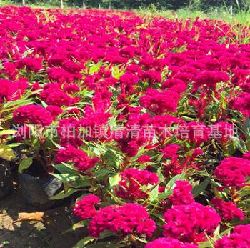 厂家直销 草本花卉鸡冠花 种花海景观园艺花卉易种植 时令花卉