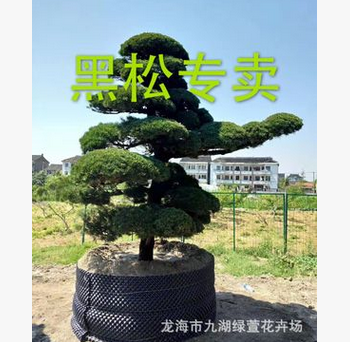 造型黑松 日本黑松 黑松盆景