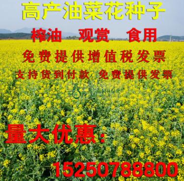 新采收油菜花种子景观油菜花草花花海种子高产耐寒油菜花籽