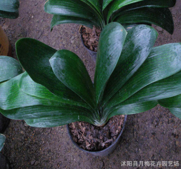 特价君子兰 盆栽3年 君子兰 室内盆栽花卉 绿植盆景 量大优惠