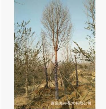 常年销售各种绿化工程苗木 血皮槭 移栽血皮槭树