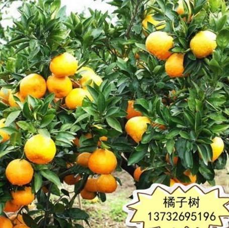 批发果树 砂糖橘子苗 金桔苗 无籽蜜桔树 柑橘树苗