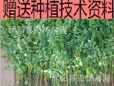 紫穗槐 自产自销 规格齐全 量大优惠 紫穗槐小苗
