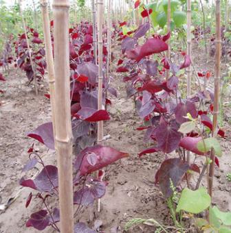 大量供应日本红叶紫荆种子 出芽率高 颗粒饱满 厂家直销