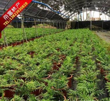 散尾葵 凤尾竹直销 净化空气 观叶植物
