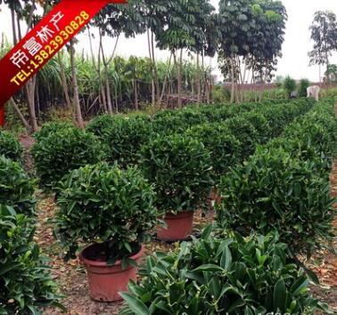 非洲茉莉 灰莉 室内盆栽植物 广东苗木