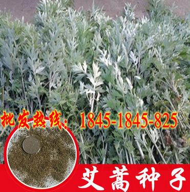 野生香艾草种子四季种植食用药用艾叶艾蒿种子五月艾斩艾种子包邮