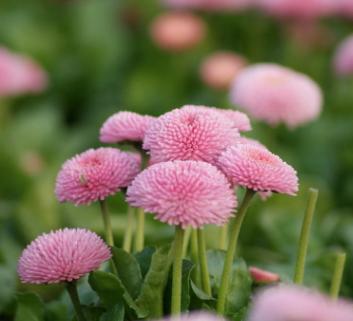花卉雏菊种子 长命菊、延命菊 雏菊种子 厂家直销 工程草花种子