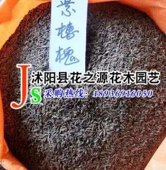 批发供应优质 紫穗槐种子 防护林种子 适应性强