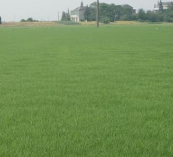 百慕大黑麦草混播批发 黑麦草销售 混播草坪批发销售