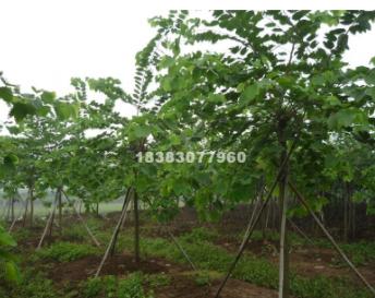 四川泸州1-30公分羊蹄甲