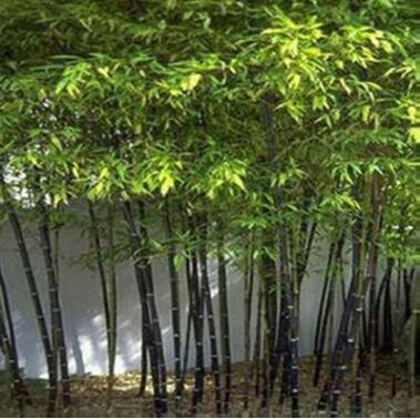 紫竹苗四季长青竹 基地直销 品质保证可盆栽地栽 直径1.5公分