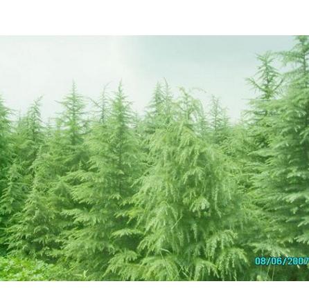 供应各类绿化苗木
