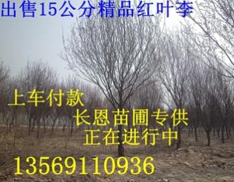 河南焦作焦作红叶李15公分/紫叶李苗木基地直销