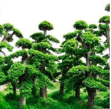 庭院景观绿化 造型榆树 湖南苗木基地直供 造型树 榆树