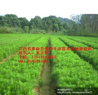 供应一年湿地松枫香木荷檫木小苗应