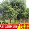 供应全冠树形饱满朴树 朴树规格齐全 苗木绿化工程全冠朴树批发