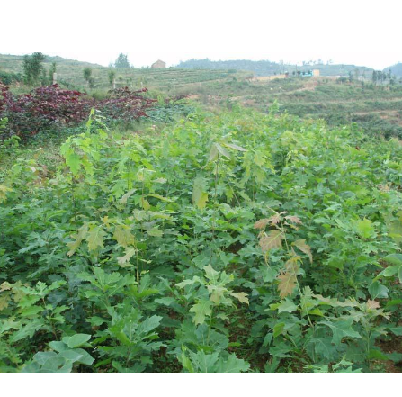 优质美国红栎小苗,红橡树价格,日照青山苗木