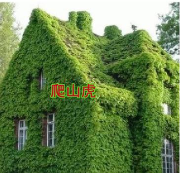 爬山虎苗 五叶地锦 爬墙高手 遮阳降温 2年苗 藤本植物 净化空气