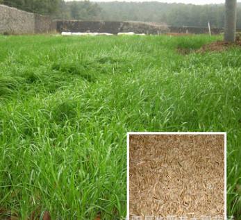 黑麦草种子批发 牧草种子 一年生黑麦草 南方北方 牧草种子黑麦草