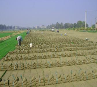 常年销售优质沙培百慕大混播黑麦草园林绿化500亩基地自产自销